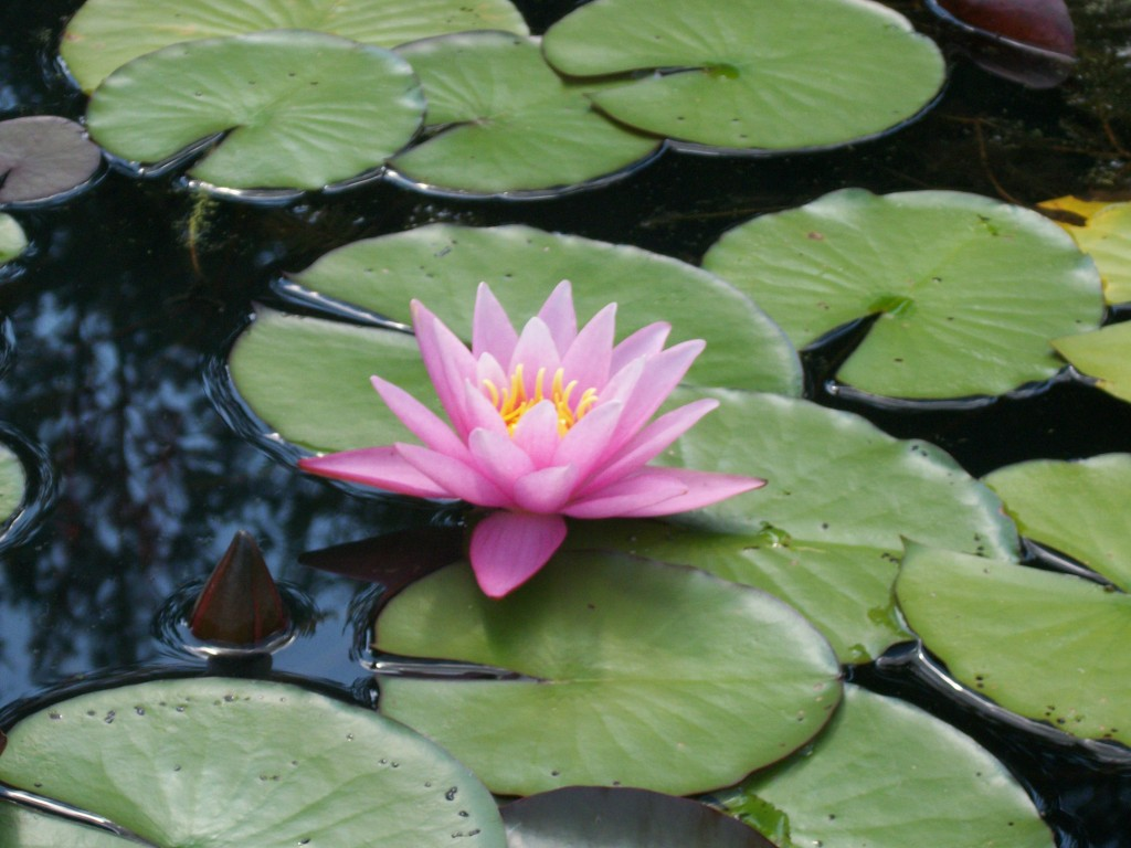 Lily Pads: A Beautiful and Popular Pond Plant - Backyard ...