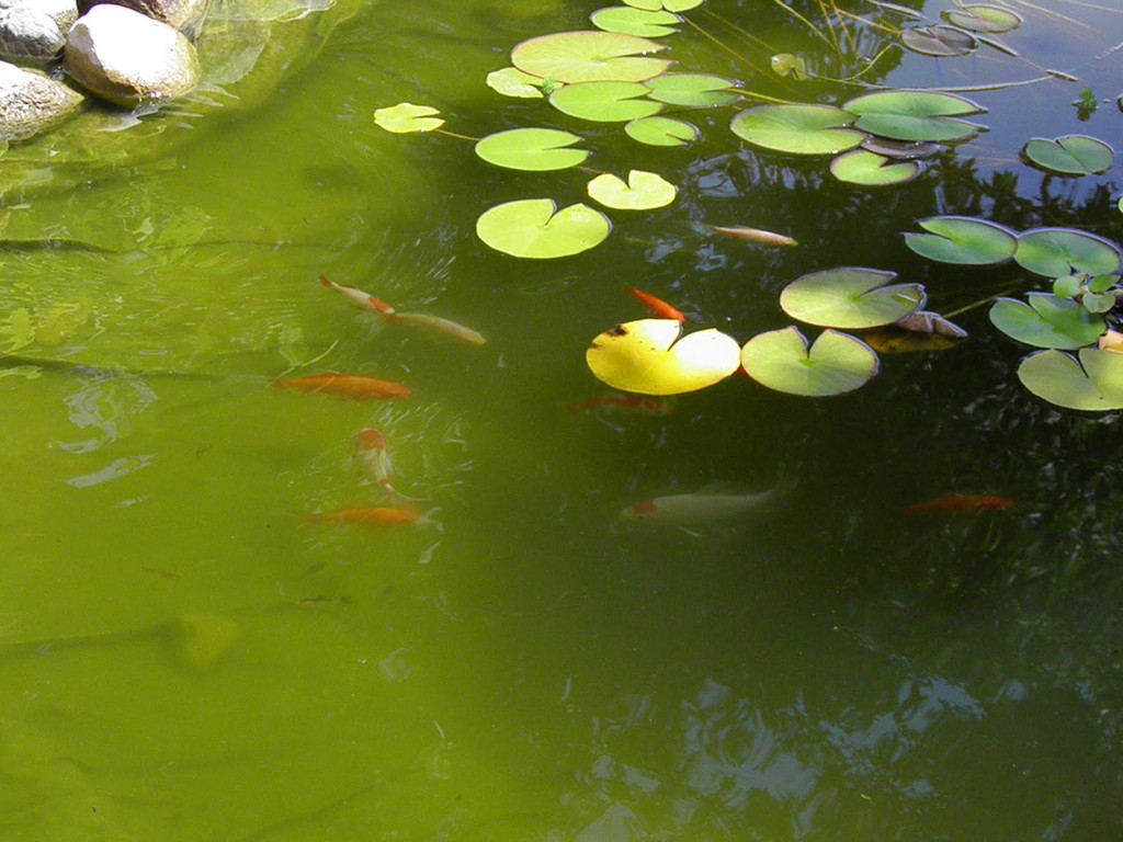 Limestone causes green water in ponds backyard blessings for Koi pond water quality levels